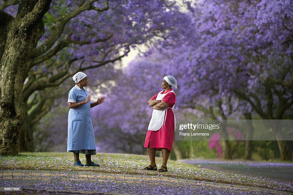South-Africa, Pretoria, Blooming Jacaranda trees,