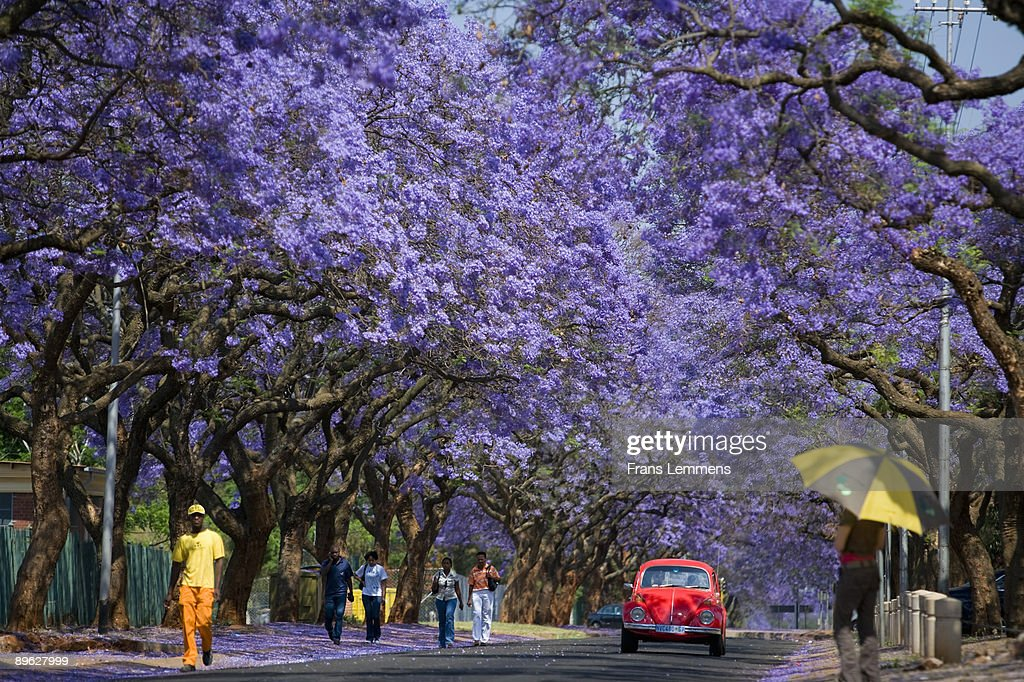 South-Africa, Pretoria, Blooming Jacaranda trees