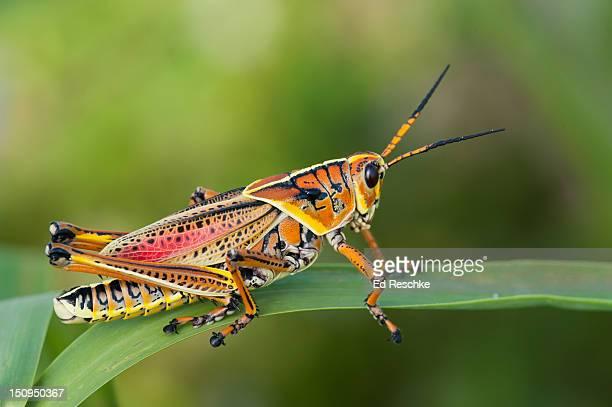 Southeastern Lubber Grasshopper, Adult