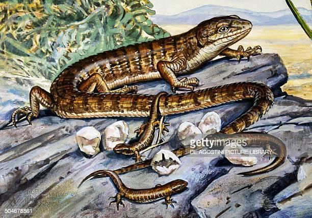 Southern alligator Lizard Anguidae drawing