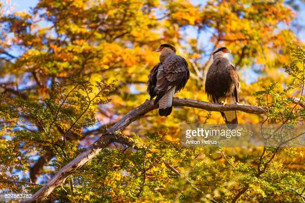 Southern caracara, Torres del Paine National Park, Patagonia, Chile
