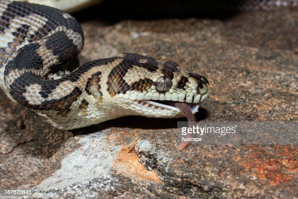 Southern carpet python feeding on large rodent Series of 6 images Yalgorup National Park Western Australia
