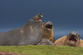 Southern Elephant Seal (Mirounga leonina) bull being aggressive