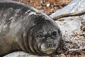 Southern Elephant Seal, Falkand Islands
