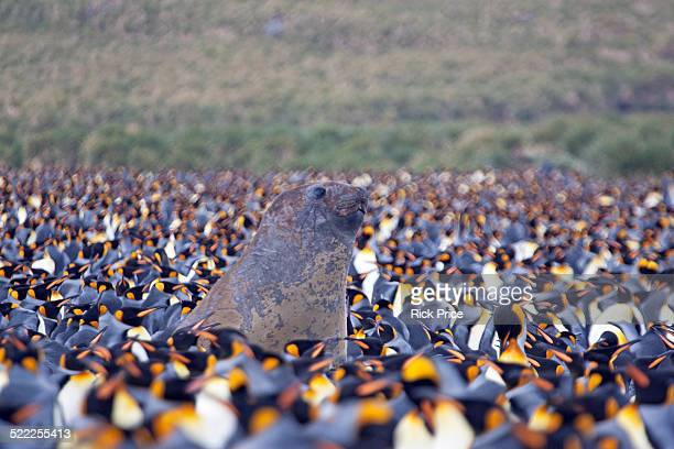 Southern Elephant seal in King Penguin rookery