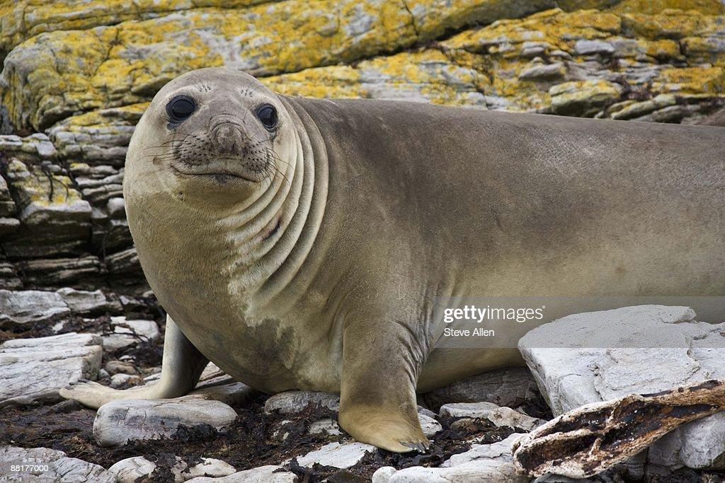 Southern Elephant Seal on rocks : Stock Photo