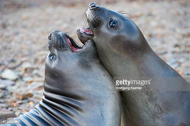 Southern elephant seal pubs play fighting near the Norwegian whaling station in Grytviken on South Georgia Island SubAntarctica