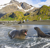 Southern elephant seal pup barking at Antarctic fur seal in surf