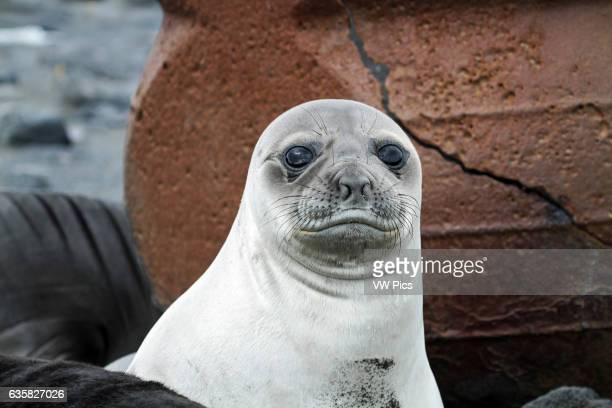 A Southern Elephant Seal pup rests near trypots on Corinthian Bay Heard Island Antarctica