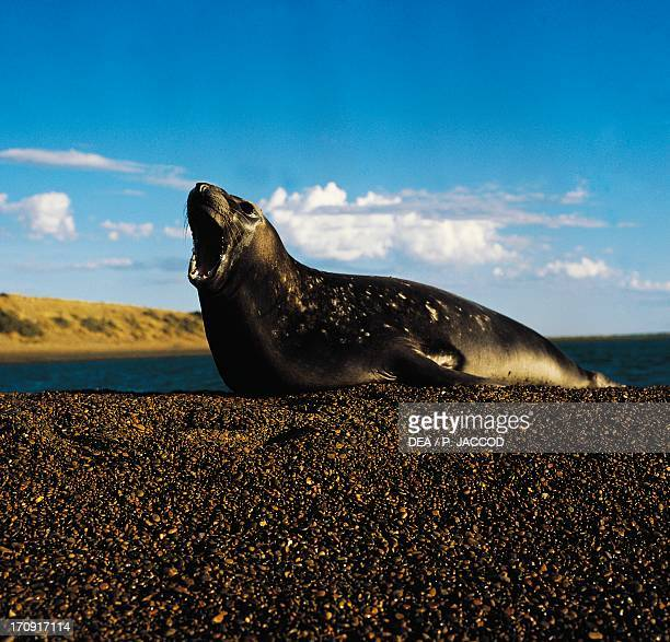 Southern Elephant Seals Patagonia Argentina