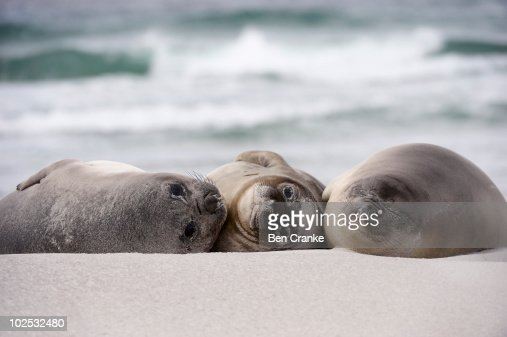 Southern Elephant Seals (Mirounga leonina) : Stock Photo