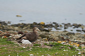 Southern Giant Petrel (Macronectes giganteus) with its chick on the coast of Bleaker Island in the Falkland Islands.