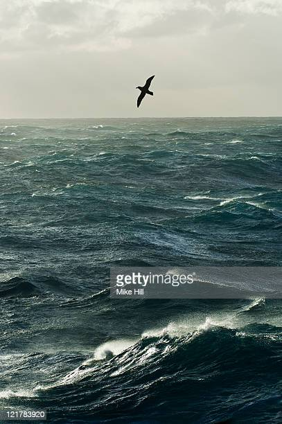 Southern Giant Petrel (Macronectes giganteus) in flight over Southern Ocean, Falkland Islands