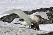 southern giant petrel white morphs who eats Adelie penguin chick