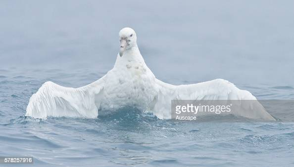 Southern giantpetrel Macronectes giganteus white morph rarer than the dark morph Macquarie Island Sub Antarctic administered by Tasmania Australia