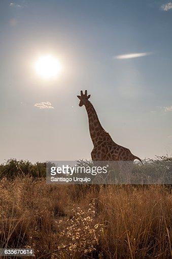 Southern giraffe (Giraffa giraffa)