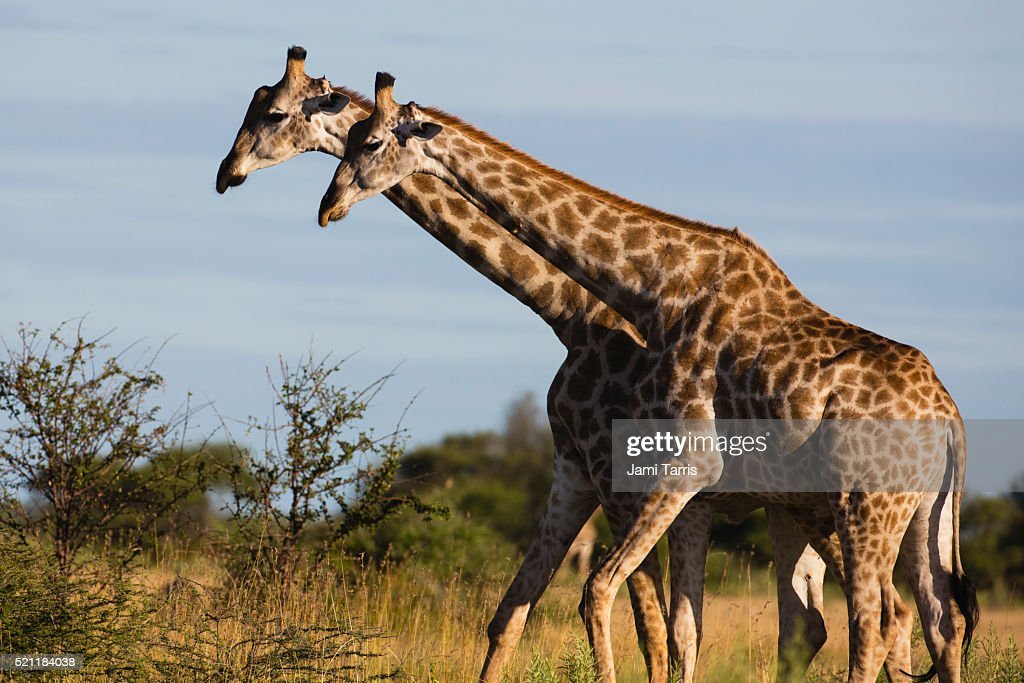 Southern Giraffe, South Africa Stock Images - Image: 24643264