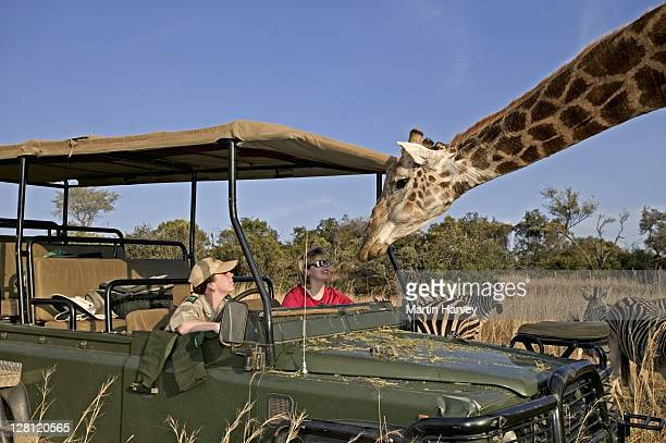 Southern Giraffes (Giraffa camelopardalis giraffa) with tourists on game drive. Private game reserve. South Africa. Dist. Southern Africa