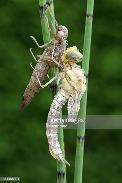 Southern Hawker or Blue Darner (Aeshna cyanea), dragonfly hatching from the larvae skin or exuvia, wings still folded, Allgaeu, Bavaria, Germany, Europe