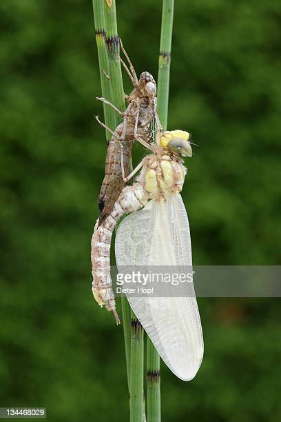 Southern Hawker or Blue Darner (Aeshna cyanea), dragonfly hatching from the larvae skin or exuvia, curved body and wings still hanging down limp, Allgaeu, Bavaria, Germany, Europe