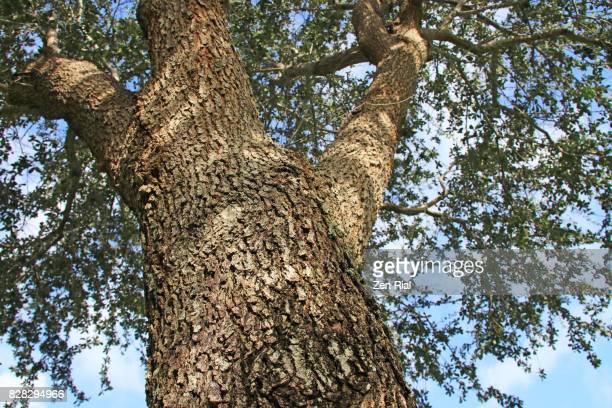 Southern Live Oak - Quercus Virginiana