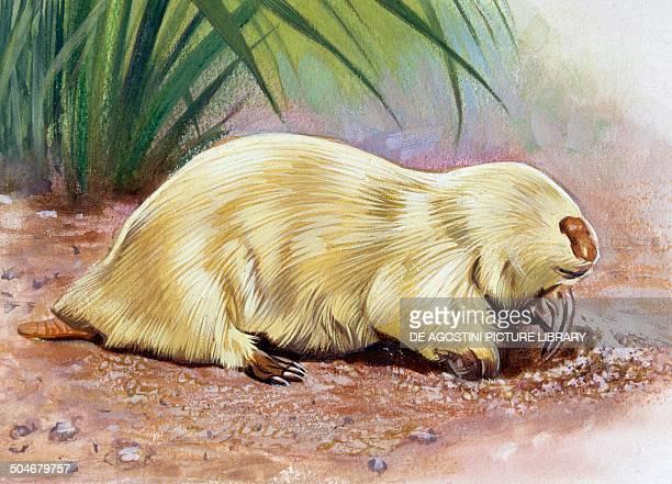 Southern marsupial Mole Notoryctidae drawing