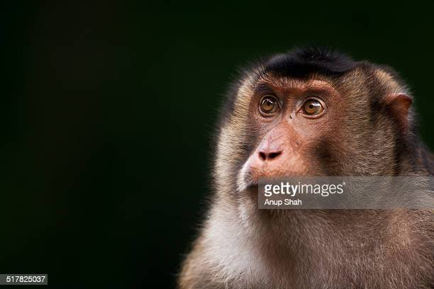 Southern or Sunda Pig-tailed macaque female