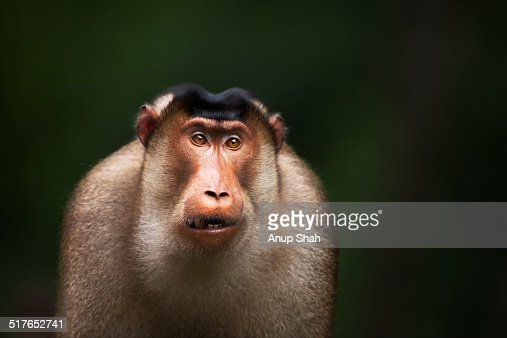 Southern or Sunda Pig-tailed macaque male portrait