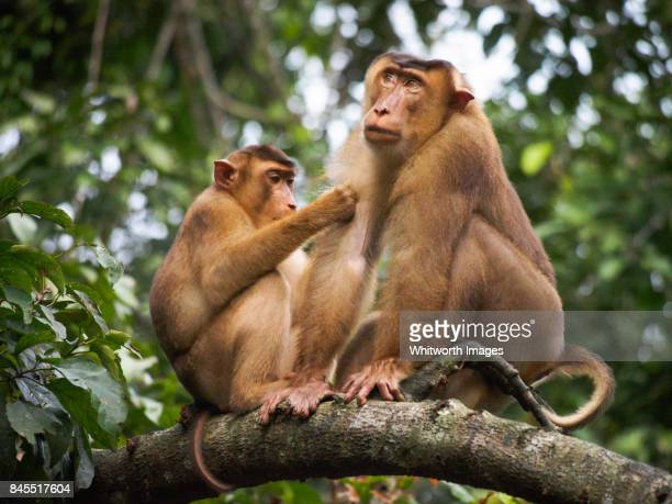 Southern pig-tailed macaques (Macaca nemestrina) grooming in riverine jungle, Sabah, Borneo