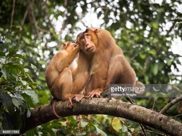 Southern pig-tailed macaques (Macaca nemestrina) grooming. Sabah, Borneo