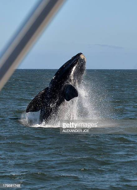A Southern Right Whale breaches on September 5 2013 in Hermanus which has become known as a mecca for whale watching During the southern hemisphere...