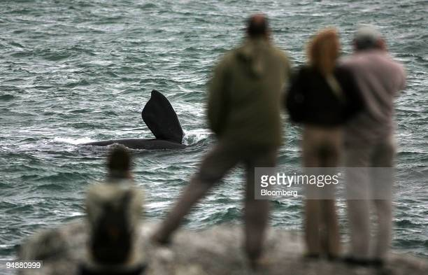 A southern right whale entertains watchers at Hermanus east of Cape Town South Africa Friday September 23 2005 The whalewatching industry is helping...