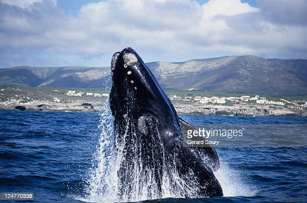 southern right whale, eubalaena australis, breaching, gaansbai, s africa