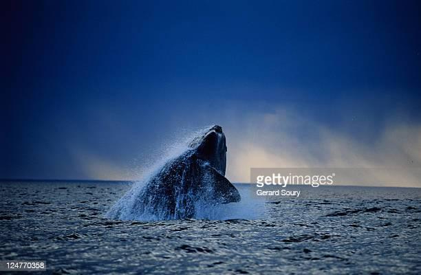 southern right whale, eubalaena australis, breaching, peninsula valdes