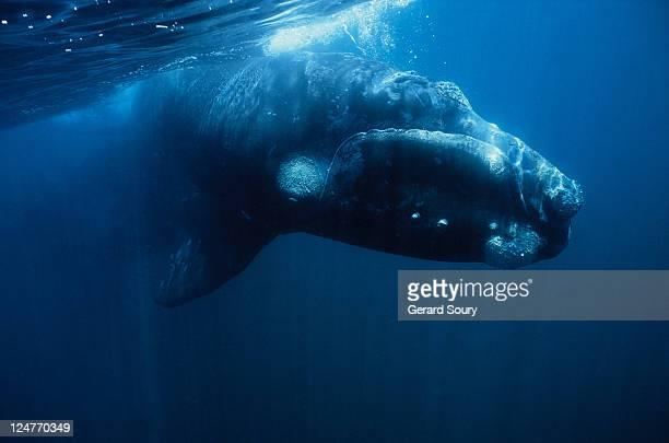 southern right whale, eubalaena australis, juvenile,peninsula valdes