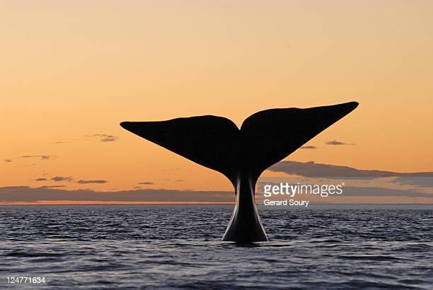 Southern Right Whale (Eubalaena australis) fluking at sunset, Valdes Peninsula, Argentina, Atlantic Ocean
