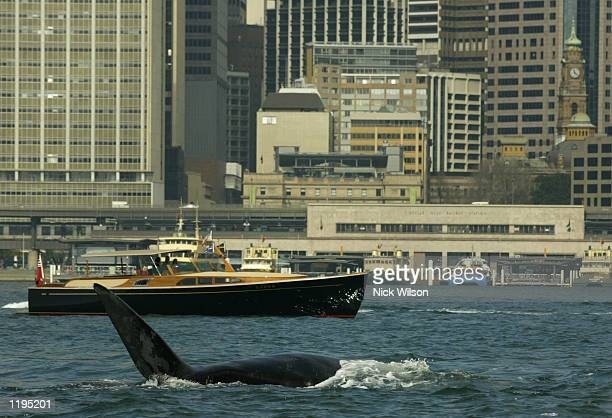 Southern Right Whale frolicks in front of Circular Quay and the CBD in Sydney Harbour on July 31 2002 in Sydney Australia Three giant Right Southern...