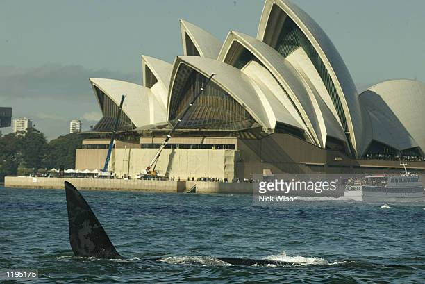 Southern Right Whale frolicks in front of The Sydney Opera House in Sydney Harbour on July 31 2002 in Sydney Australia Three giant Right Southern...
