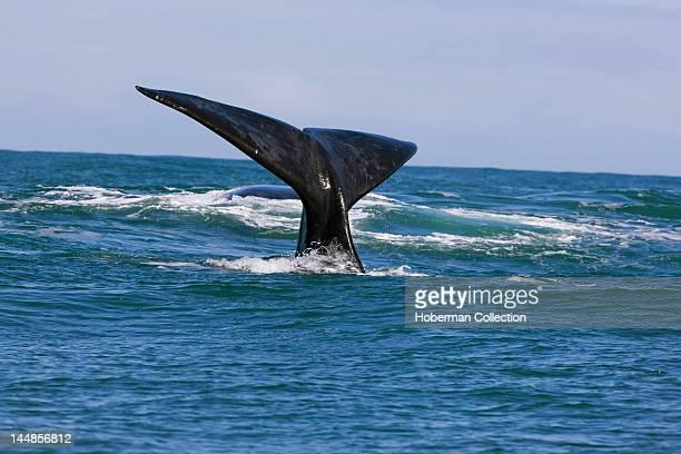 Southern right whale near Gansbaai Western Cape
