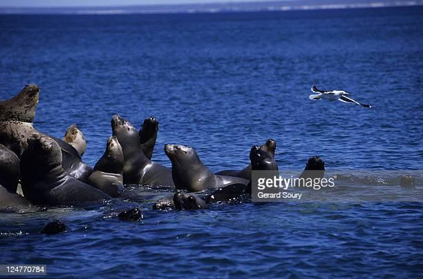 southern sea lion,otaria flavescens, colony, peninsula valdes, patagonia