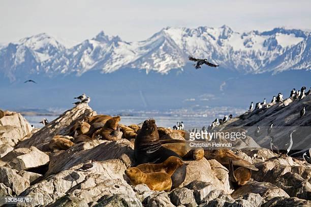Southern Sea Lions (Otaria flavescens), Beagle-Channel, Tierra del Fuego, Argentina, South America