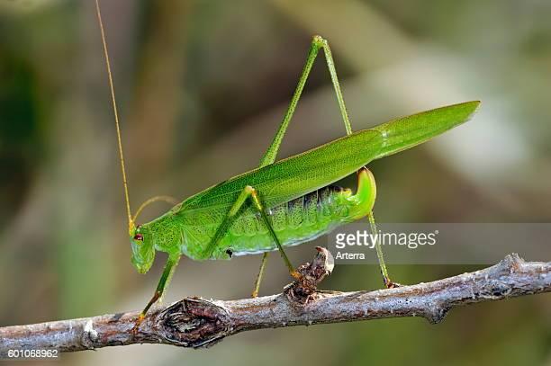 Southern sicklebearing bush cricket female on twig