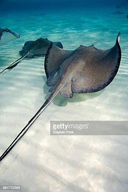 Southern Stingrays Glide over the Sand