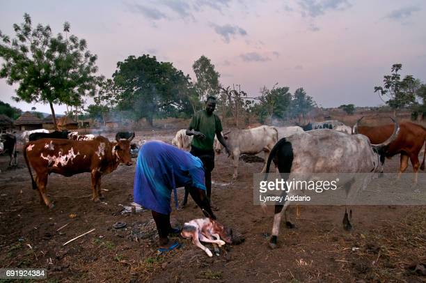 A Southern Sudanese woman helps deliver a baby calf in the town of Nimule South Sudan February 2008 After more than five decades of guerilla war and...