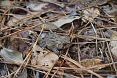 A Southern Toad can be seen sitting on top of leaves and pine needles in a Virginia woodland area.