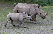 A Southern White Rhinoceros calf and it's mother head for feeding time at Orana Wildlife Park Christchurch New Zealand The pair are part of the...