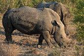 A southern white rhinoceros, or southern square-lipped rhinoceros (Ceratotherium simum simum)