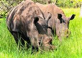 Southern white rhinos, Uganda