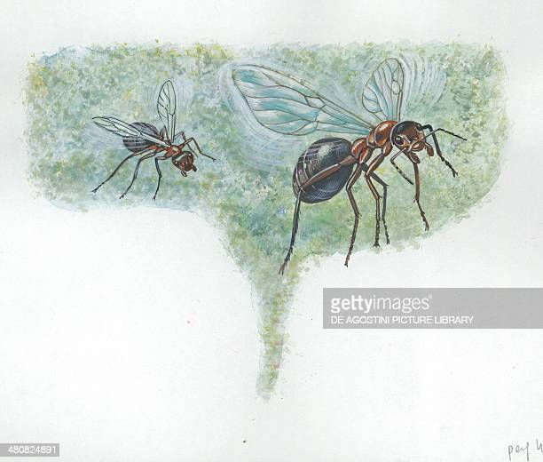 Southern wood ants or horse ants during nuptial flight illustration