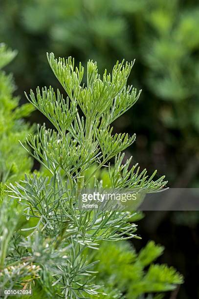 Southernwood / lad's love / southern wormwood